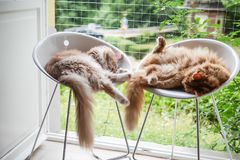 Coppie Maine Coon Cats Stretching in sedie alte Fotografie Stock