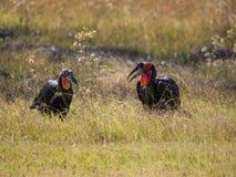 Coppie maschii e femminili il bucero a terra del sud africano che si alimenta nell'alta erba, Moremi NP, Botswana Fotografia Stock