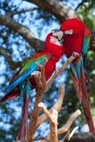 Coppie nei pappagalli di amore Immagini Stock Libere da Diritti