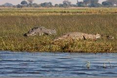 Coppie orizzontali dei coccodrilli Fotografia Stock Libera da Diritti