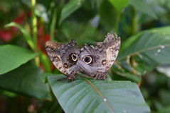 Coppie Owl Eye Butterflies Fotografie Stock