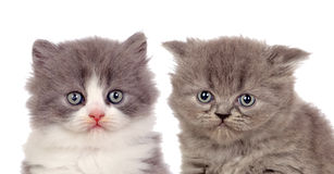 Coppie piacevoli i gattini grigi Fotografia Stock Libera da Diritti