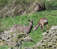 Coppie Roe Deer Fotografia Stock