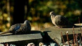 Coppie romantiche il macroura di zenaida delle colombe di dolore o la colomba americano della pioggia che riposa al sole video d archivio