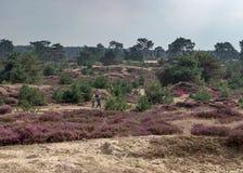 Coppie senior che camminano in un campo delle derive di sabbia e dell'erica nel Wold olandese di Drents-Friese della riserva natu immagine stock libera da diritti