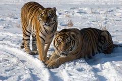 Coppie siberiane della tigre Fotografia Stock