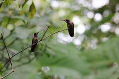 Coppie sveglie del colibrì che se esaminano Immagini Stock