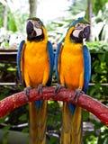 Coppie variopinte dei pappagalli Immagine Stock Libera da Diritti