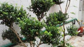 Copre di foglie il bonsai Fotografia Stock Libera da Diritti