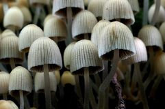 Coprinellus disseminatus Stock Photos