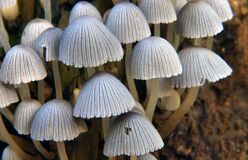Coprinellus disseminatus.Fairy Bonnets. Royalty Free Stock Photography
