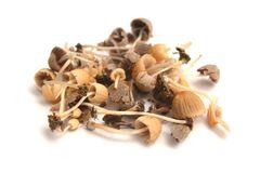 Coprinellus disseminatus mushrooms. In the wild, fairy inkcap Royalty Free Stock Photo