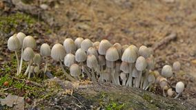 Coprinellus disseminatus mushrooms. In the wild, fairy inkcap Royalty Free Stock Images
