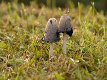 Coprinus atramentarius-mushrooms Stock Images