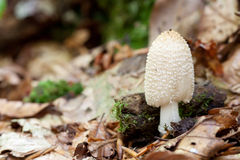 Coprinus comatus Stock Photography