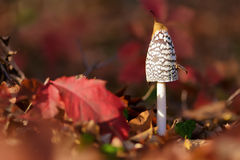 Coprinus Comatus Royalty Free Stock Photography