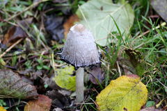 Coprinus comatus Stock Images