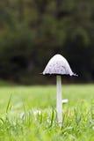 Coprinus comatus mushroom Stock Image