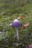 Coprinus comatus mushroom Stock Images