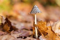 Coprinus comatus mushroom Royalty Free Stock Image
