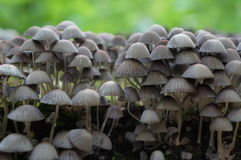 Coprinus Disseminatus or Fairy Ink Cap mushrooms stock image