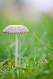 Coprinus Stock Photos