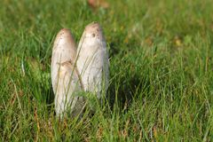 Coprinus Mushroom Growing in the Grass on the Lawn. Coprinus mushrooms grows in the grass on the lawn. Dungers Coprinus - one of the most amazing creatures of Royalty Free Stock Photo