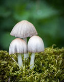 Coprinus mushrooms in moss Royalty Free Stock Photos
