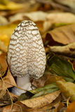 Coprinus picaceus Stock Images