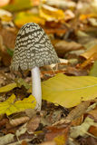 Coprinus picaceus Stock Photo