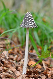 Coprinus picaceus Royalty Free Stock Photo