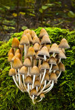 Coprinus silvaticus. Inedible fungus grows in forests Central Europe, Coprinus silvaticus Peck Royalty Free Stock Photography