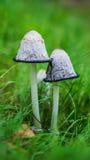 Coprinusen är det lilla släktet av champinjoner Royaltyfri Foto
