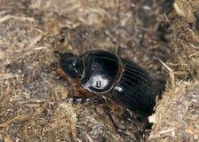 copris жука dung horned lunaris Стоковое Изображение