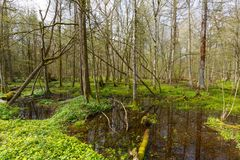 Copse στην άνοιξη με το νερό και το άνθισμα anemone Στοκ φωτογραφίες με δικαίωμα ελεύθερης χρήσης