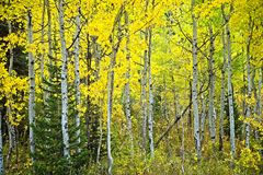 Copse of Aspen Trees in fall color stock photos