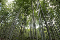 Copse of bamboo in forest Stock Images