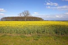 Δασώδης περιοχή copse και canola ανθίσματος Στοκ εικόνες με δικαίωμα ελεύθερης χρήσης