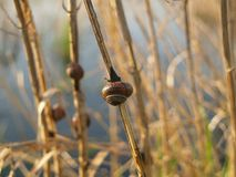 Copse Snail. On the water royalty free stock photography