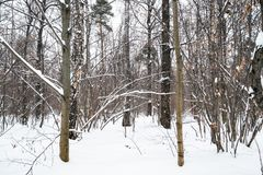 Copse in snow-covered city park in winter. Day royalty free stock image