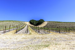 A copse of trees forms a heart shape on the scenic hills. Of the California Central Coast where vineyards grow a variety of fine grapes for wine production stock image