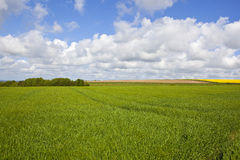 Copse and wheat field Stock Photography