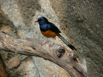 Copsychus malabaricus. The scientific name for the Shama Thrush (aka White-rumped shama) is easy for students to remember:  Cops psych us  because the Shama is Stock Photo