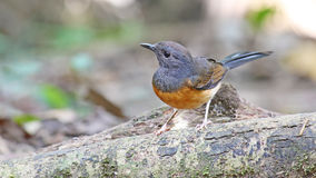 Copsychus malabaricus White-rumped Shama. (Female Royalty Free Stock Photography