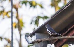 Copsychus saularis bird or another name Oriental Magpie Robin bird is a resident bird. It easily. Copsychus saularis bird, also known as Oriental Magpie Robin Royalty Free Stock Photo