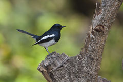 Copsychus saularis, oriental magpie robin on a log at Bardia, Nepal Royalty Free Stock Photography