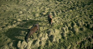 Copter flying over the two horses on the lava field in Iceland. Wild animals grazing on the green meadow. The herd of horses walking in the valley. Ranch in stock video footage