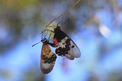 Copula 2 красивых прозрачных бабочек стоковое фото rf