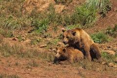 Copulare degli orsi grigii fotografia stock