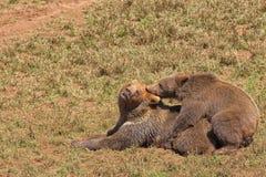 Copulare degli orsi grigii immagini stock libere da diritti